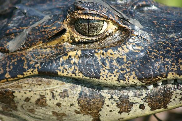 Go eyeball to eyeball with a caiman