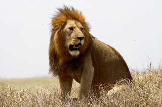 Simba-lion-593x393.jpg