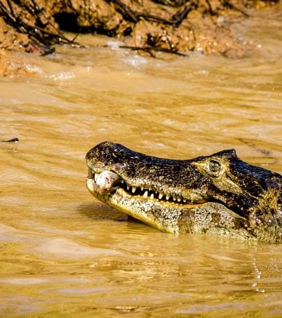Alligator in the waters of the Pantanal, Brazil