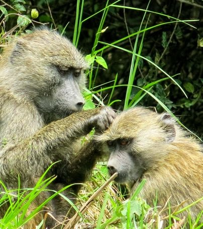 Two apes in Arusha National Park, Tanzania