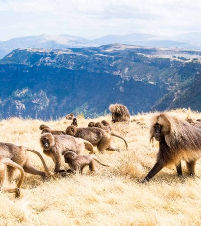 Baboons in the Semien Mountains National Park, Ethiopia