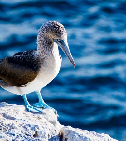 Blue footed booby stands on rock in Galapagos