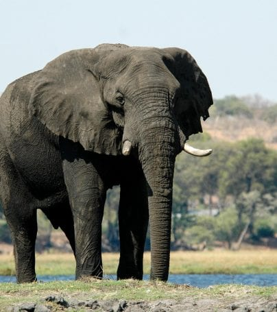 Elephant in Moremi Game Reserve in Botswana