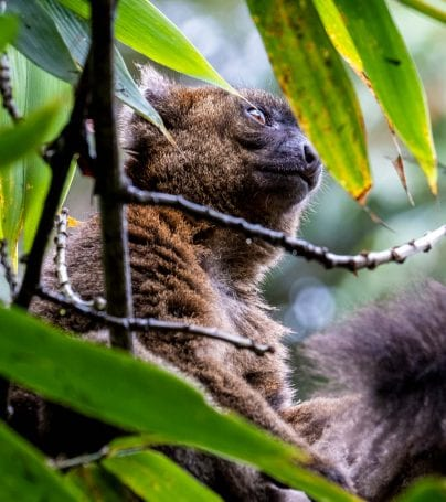 Brown bamboo lemur in the forests of Madagascar
