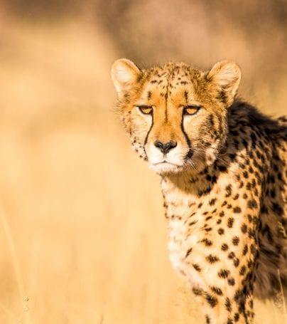 Cheetah standing in yellow grass