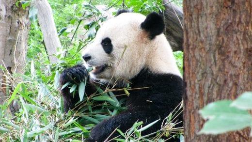 Panda munches on bamboo