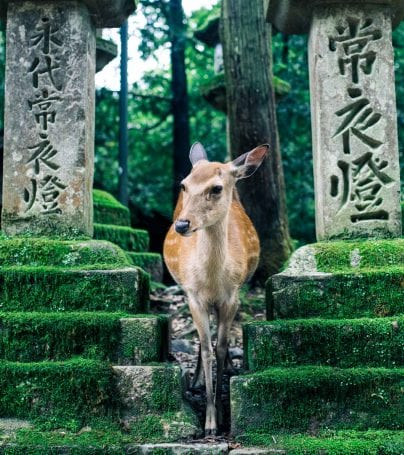 Deer stands near temple at Nara-Shi, Japan