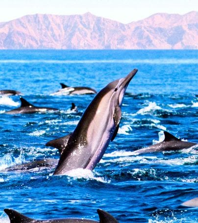 Pod of dolphins play in the waters of the Sea of Cortez