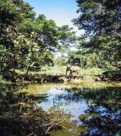 Elephant walks near water in Chiang Rai, Thailand