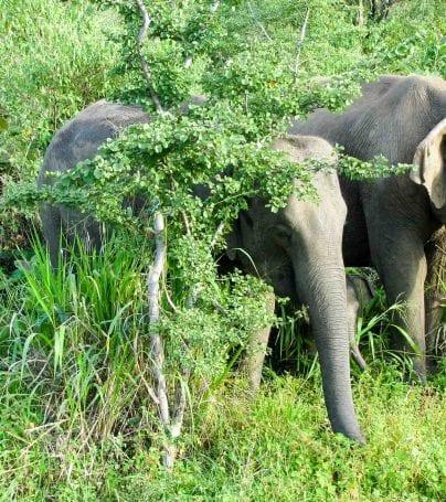 Two elephants munch on grass in Sri Lanka