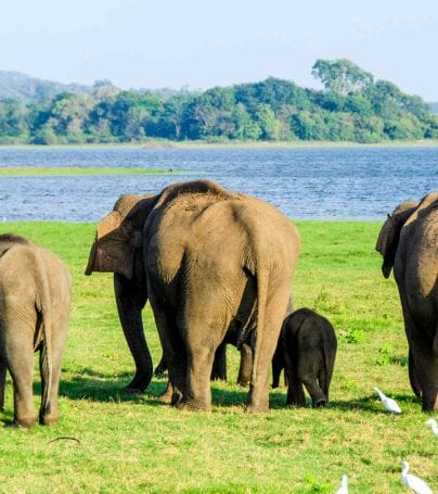 Elephants walk toward water in Sri Lanka