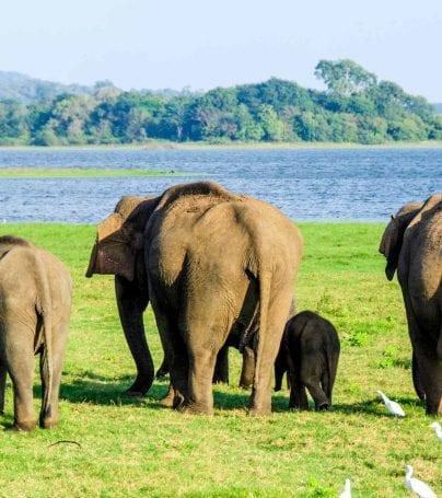 Elephants walk toward water in Sri Lanka
