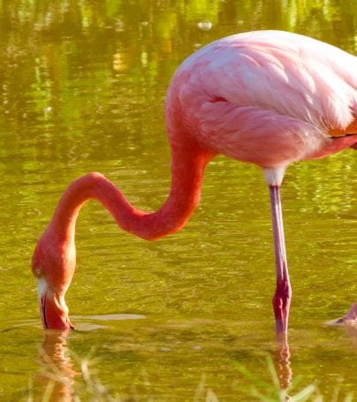 Flamingo drinks from water of Santa Cruz, Galapagos