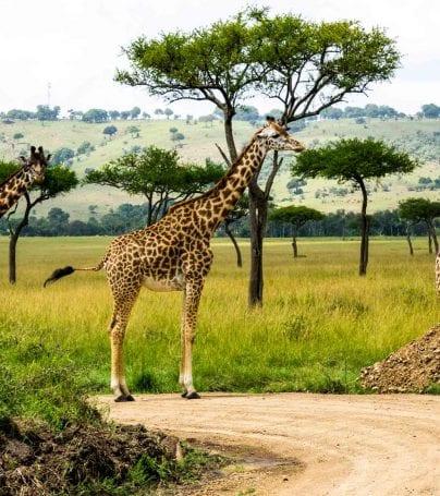 Three giraffes stand on road in Kenya