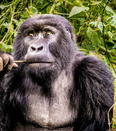 Gorilla chews on stick in Uganda forest