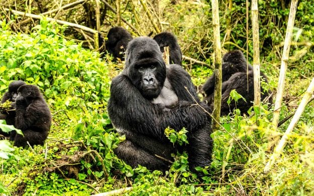 Gorillas in Volcanoes National Park, Rwanda