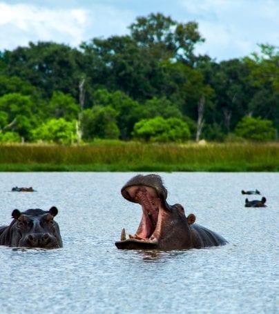 Hippopotamuses in water of Okavango Delta, Botswana