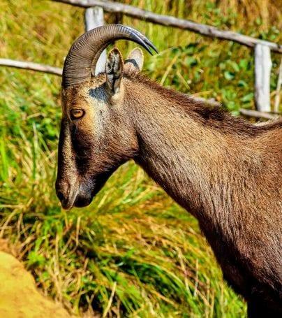 Ibex in park in India
