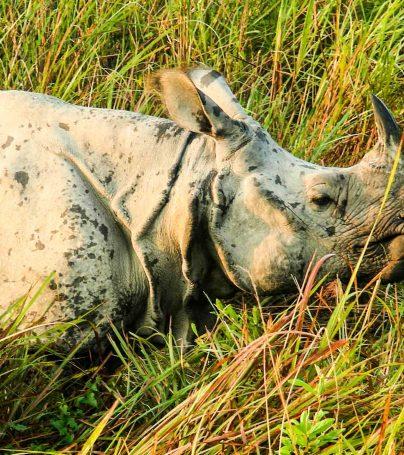 Rhino in the grass in India