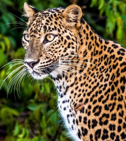 Leopard in Wilpattu National Park, Sri Lanka