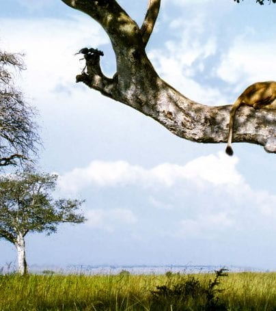 Lion sleeps on a tree branch in Uganda