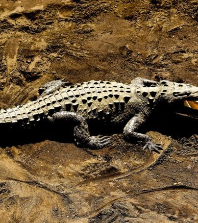 Crocodile basks on sand in Jaco, Costa Rica
