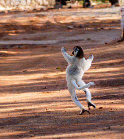 Jumping lemur in Madagascar
