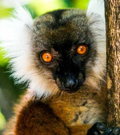 Lemur holds tree in Madagascar