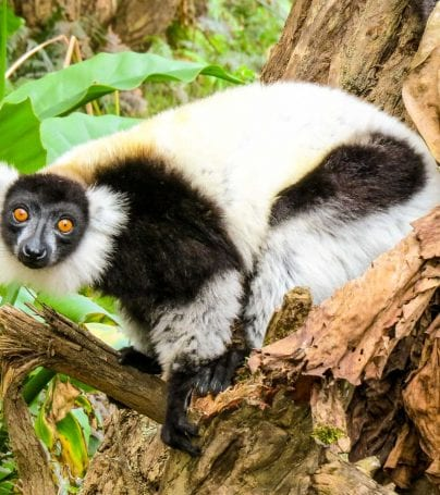 Lemur crouches on branch in Madagascar