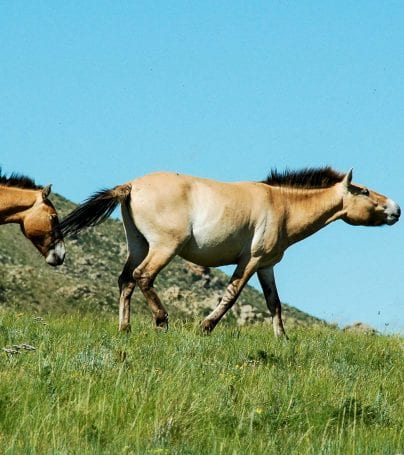 Wild horses of the Bayangobi in Mongolia