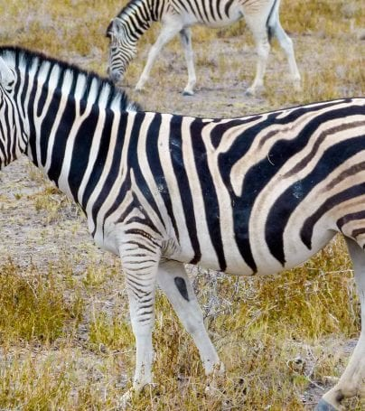 Zebra on Namibia plains