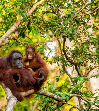 Two orangutans sit in tree