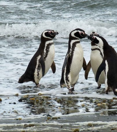 Penguins on shore of Punta Arenas, Chile