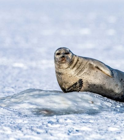 Seal leans against pile of ice in Svalbard