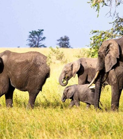 Elephants wander plains in Tanzania