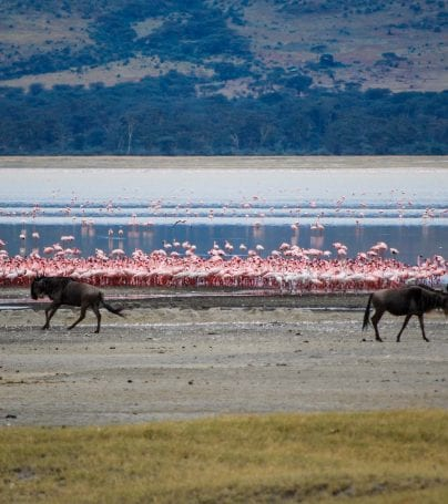 Flamingoes and buffalo by water in Tanzania