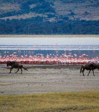 Flamingoes and buffalo by water in Tanzania