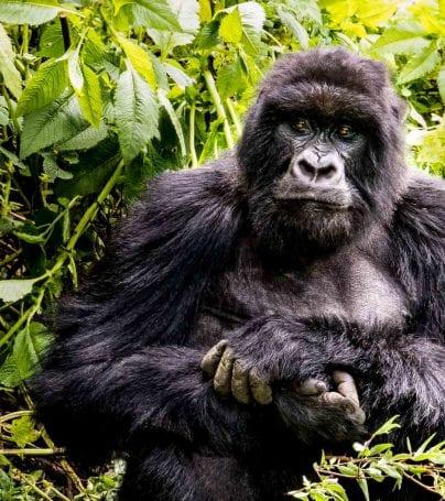 Gorilla sits in Uganda jungle