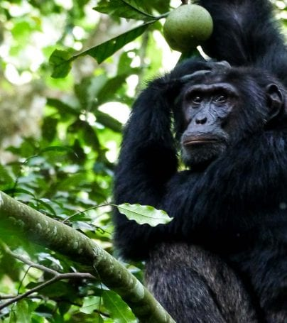Chimpanzee in the trees in Uganda