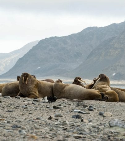 Walruses lie on shore of Spitsbergen, Svalbard