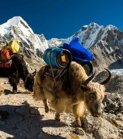 Pack yaks in the Khumbu region of Nepal