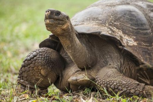 Encounter giant tortoises along your path (photo by Benjamin Sadd)
