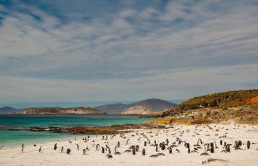 See beaches dotted with thousands of penguins