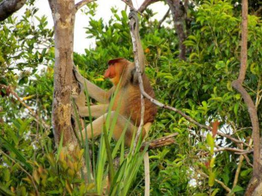 Proboscis monkey (Photo by Dick Seibel)