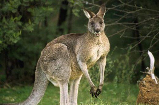 Meet a kangaroo today