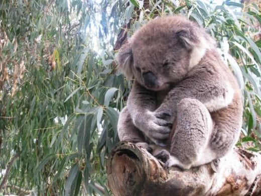 Grumpy or sleepy koala?