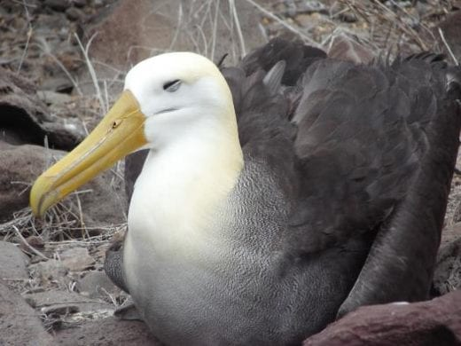 Look for the waved albatross