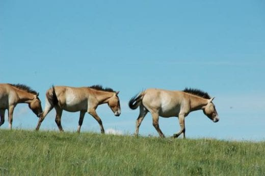 Drive to Khustain Nuruu National Reserve for a look at the Przwalski Wild Horses