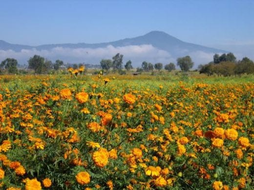 Fields of marigolds