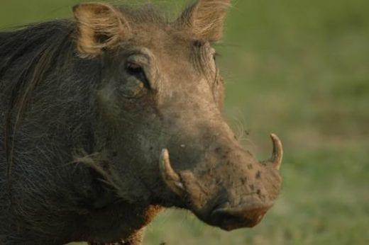 Spot warthogs on safari